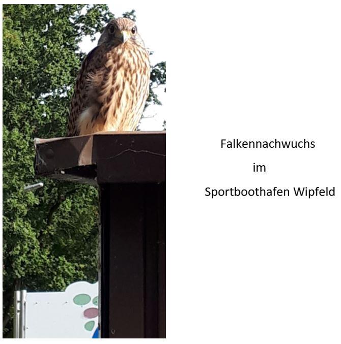 Falkennachwuchs 2019